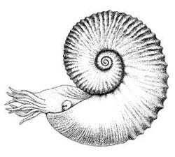 ammonite-diagram.jpg