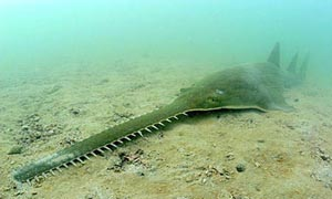 sawfish-700x420.jpg