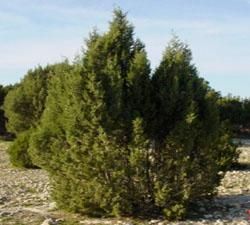 thuya-tree.jpg